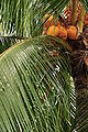 Coconuts on Tree 3.jpg