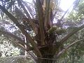Cocunut tree.jpg