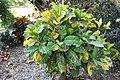 Codiaeum variegatum General Padgett 2zz.jpg