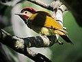 Colaptes rubiginosus Carpintero cariblanco Golden-olive Woodpecker (male) (42557701791).jpg