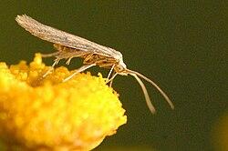 Coleophora.striatipennella.-.lindsey.jpg
