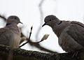 Collared Doves (5585297727).jpg