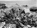 Collectie Nationaal Museum van Wereldculturen TM-10021133 Cactus die groeit op de rotsen aan de Sabaanse kust Saba -Nederlandse Antillen fotograaf niet bekend.jpg