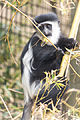 Colobus Monkey Reaching for Branch (18214237405).jpg