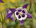Columbine Aquilegia 'Blue Butterflies' Flower 2568px.jpg