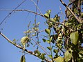 Combretum albidum (5460383929).jpg