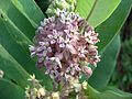 Common Milkweed (2985451836).jpg