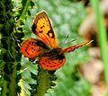 Common Scarlet (Axiocerses tjoane subsp. tjoane) Ralie-rooivlerkie, Pretoria.jpg