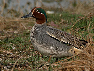 Eurasian teal - Eurasian teal ( A. crecca), drake in nuptial plumage (note horizontal white stripe from shoulder)