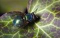 Common green bottle fly (31413759248).jpg