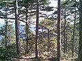 Coniferous forest in crimea.jpg