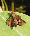 Conjoined Swift Pelopidas conjuncta UP by Dr. Raju Kasambe DSCN4060 (3).jpg