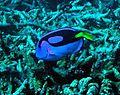 Coral reef fish pacific blue tan paracanthurus hepatus.jpg
