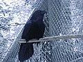 Corvus corax.JPG