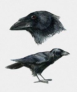 Corvus Palmarum Wikipedia La Enciclopedia Libre