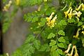 Corydalis pallida var. tenuis 02.jpg