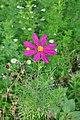 Cosmos bipinnatus Garden Cosmos, Mexican Aster წითელი ცხრაფეხა.JPG