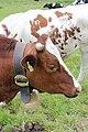 Cow (14311406801).jpg