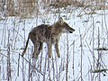 Coyote Eating a Rodent, Photo 3 of 3 (26414101272).jpg