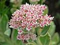 Crassulaceae - Sedum erythrostictum.JPG