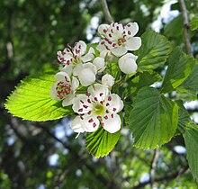 Crataegus punctata flowers 2.jpg