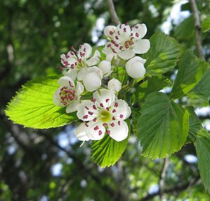 Crataegus punctata - A red-anthered form of this variable species