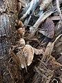Crepidotus mollis 47006483.jpg