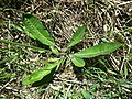 Crepis praemorsa sl4.jpg