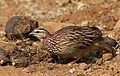Crested Francolin, Dendroperdix sephaena, feeding in dung at Pilanesberg National Park, Northwest Province, South Africa (29233278203).jpg