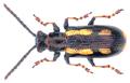 Crioceris macilenta Weise, 1880.png