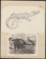 Crocodilus biporcatus - 1700-1880 - Print - Iconographia Zoologica - Special Collections University of Amsterdam - UBA01 IZ12200072.tif