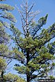 Cronartium ribicola Pinus tree.jpg