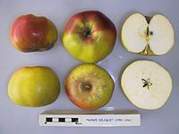 Cross section of France Deliquet, National Fruit Collection (acc. 1950-106).jpg