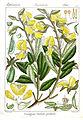 Crotalaria barbata Rungiah.jpg