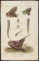 Crotalus horridus - kop en staart - 1700-1880 - Print - Iconographia Zoologica - Special Collections University of Amsterdam - UBA01 IZ11700001.tif