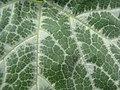 Cucurbita moschata-leaf veins-Hawea Pl Olinda.jpg