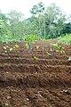 Culture du taro à São Tomé (2).jpg