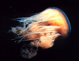 English: Lion's mane jellyfish Español: Medusa...