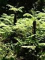 Cyathea Capenis - TreeFern - Cape Town.JPG