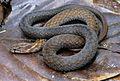 Cyclocorus lineatus lineatus (KU 326690) from Barangay Dibuluan, San Mariano - ZooKeys-266-001-g081.jpg