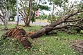 Cyclone Marcus in Darwin – Uprooted tree in Stuart Park 02.jpg