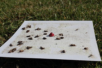 Codling moth - Pheromone traps for codling moth