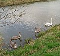 Cygnets on Well Creek east of Nordelph. - geograph.org.uk - 72235.jpg