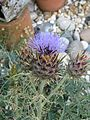 Cynara cardunculus flavescens (9491833751).jpg