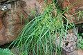 Cyperus esculentus, habitus, Dewetsnek, a.jpg
