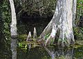 Cypress knees (Taxodium distichum) 3.jpg