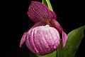 Cypripedium macranthos Sw., Kongl. Vetensk. Acad. Nya Handl. 21 251 (1800) (47936139806).jpg