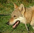 Czechoslovakian Wolfdog face.jpg