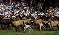 Dülmen, Wildpferdefang 1982 -- 2010 -- 6.jpg
