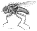 DIPT Calliphoridae Pollenia dyscheres f.png